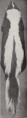 Revision of the skunks of the genus Chincha (1901) pl. 3 M. m. spissigrada.png