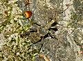 Rhagium mordax fg01.jpg