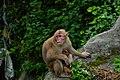 Rhesus Macaque 01.jpg