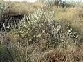 Rhynchosia nitens, Phalandingwe, b.jpg