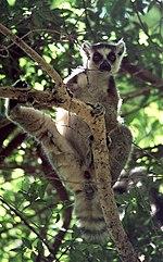 Ring-tailed Lemur (Lemur catta).jpg