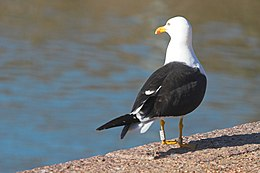 Ringed lesser black-backed gull.jpg