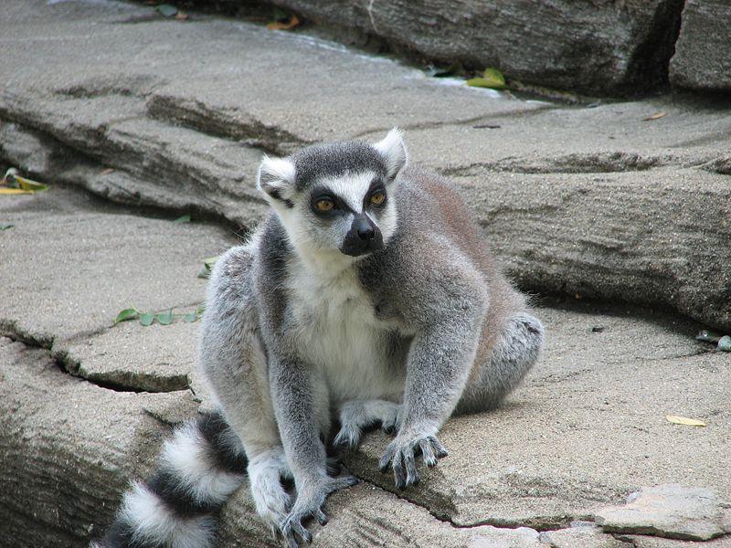 Fichier:Ringtailed Lemur 001.jpg