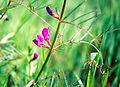 Roślina strączkowa 998.jpg
