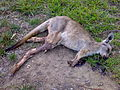 Roadkill kangaroo.jpg
