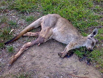 Roadkill - Roadkilled kangaroo from South Morang in northern Melbourne, Australia
