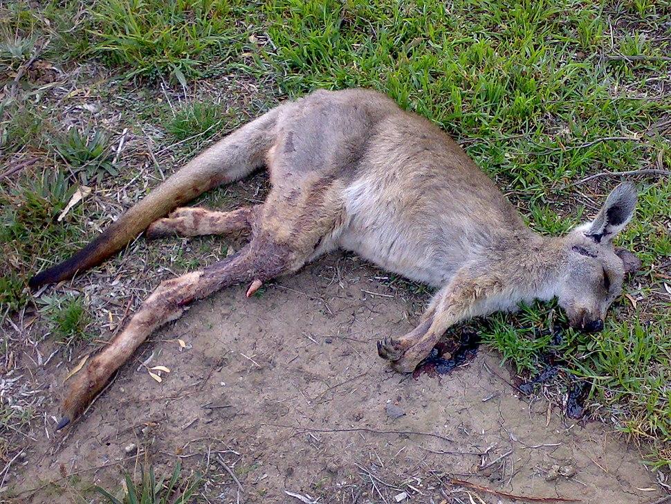 Roadkill kangaroo