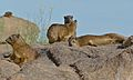 Rock Hyraxes (Procavia capensis) (6437297097).jpg