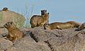 Rock Hyraxes (Procavia capensis) (6437297097).jpg