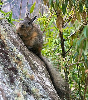 Northern viscacha species of rodent