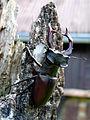 Roháč obecný (Lucanus cervus) 08.jpg