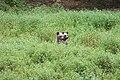 Romania bears (30291853228).jpg