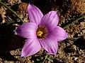 Romulea rosea Middelberg Pass 05.jpg