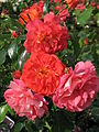 Rosa 'Gebruder Grimm' 02.JPG