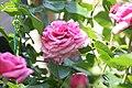 Rosa Aloha 1zz.jpg
