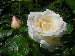 Rosa Pascali.jpg