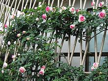 Rosier grimpant wikip dia - Comment fixer un rosier grimpant au mur ...