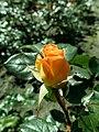 Rosa Rosemary Harkness 2019-05-29 4143.jpg
