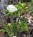 Rosa spinosissima inflorescence (11).jpg