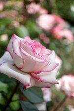 Rose,Minuette,バラ,メヌエット, (8169723449).jpg