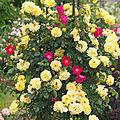 Rose, バラ, (15308777774).jpg