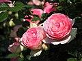 Rose, Pierre de Ronsard, バラ, ピエール ド ロンサール, (21719354682).jpg