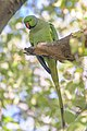 Rose-ringed Parakeet (43615492310).jpg