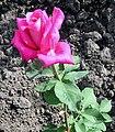 Rose Ballet.jpg