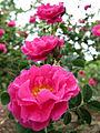 Rose La Belle Distinguee バラ ラ ベル ディスタンゲ (6795189024).jpg
