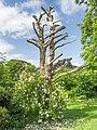Rose bush (14234511397).jpg
