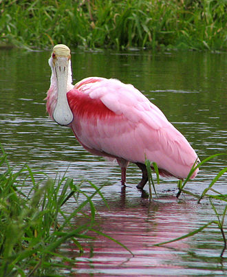 Myakka River State Park - A roseate spoonbill is a Florida rarity often found among the noted wildlife of the park