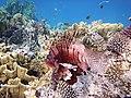 Rotfeuerfisch, lionfisch (рыба-зебра, рыба-лев). DSCF1372BE2.jpg