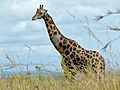 Rothschild's Giraffe (Giraffa camelopardalis rothschildi) male (6861458019).jpg