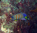 Royal angelfish-Pygoplites diacanthus (23098291036).jpg