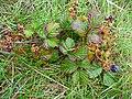 Rubus caesius 2010.JPG