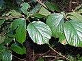 Rubus promachonicus1.jpg