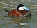 Ruddy Duck (Oxyura jamaicensis) RWD2.jpg