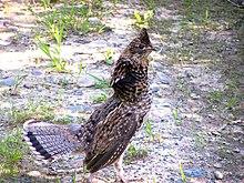 ruffed grouse wikipedia
