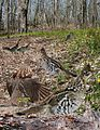 Ruffed grouse From The Crossley ID Guide Eastern Birds.jpg