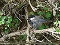 Rufous-naped Tit (Periparus rufonuchalis) (29955091023).jpg