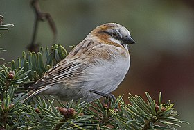 Rufous-necked Snowfinch Pangolakha Wildlife Sanctuary East Sikkim India 18.10.2015.jpg