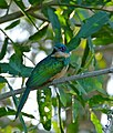 Rufous-tailed Jacamar (Galbula ruficauda) (29149424015).jpg