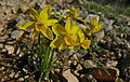 Rushleaf Jonquils (Narcissus assoanus) (8578886584).jpg