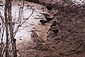 Rusty Blackbird & Friend (8710356027).jpg