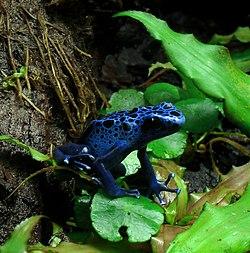 Un dendrobate bleu