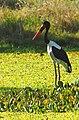 Saddle-billed Stork - Ephippiorhynchus senegalensis, Gorongosa National Park, Mozambique (41567239725).jpg