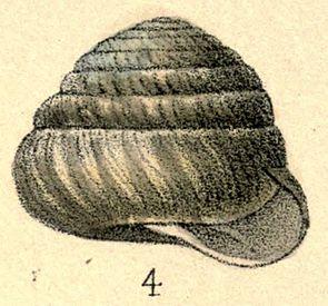Sagda epistylioides