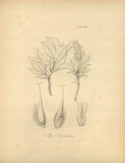 <i>Salix richardsonii</i> Species of flowering plant