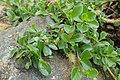 Salix simulatrix kz05.jpg