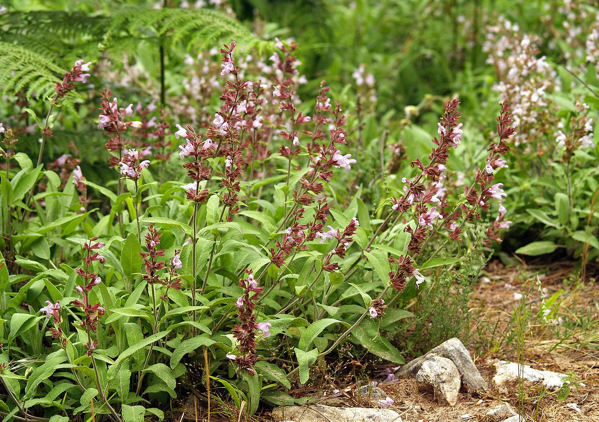 Heilpflanze wikipedia for La salvia en la cocina